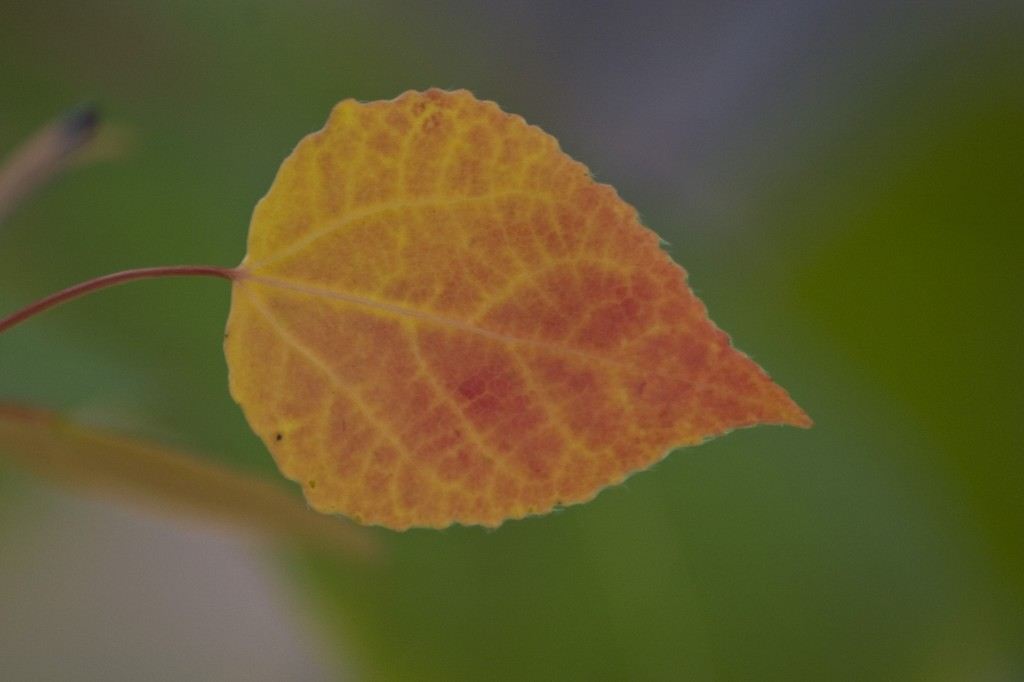 Backyard Aspen leaf turning
