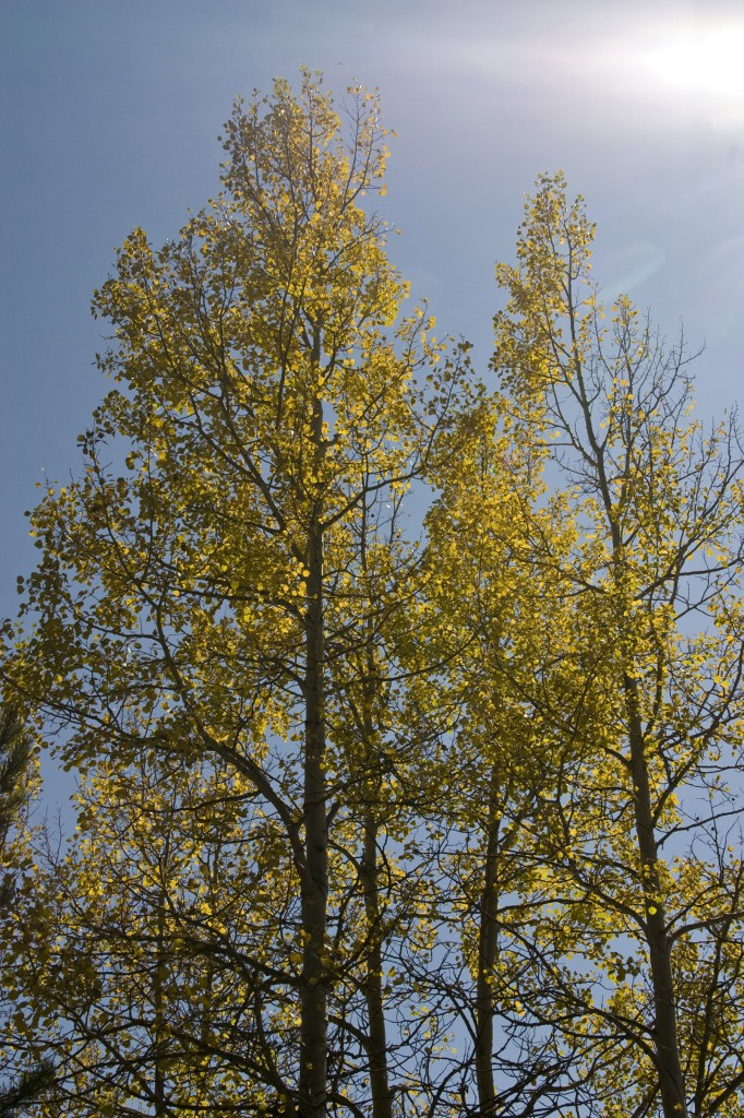 Aspens standing the morning light