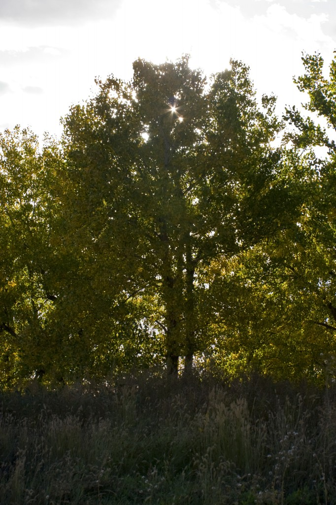 I call Cottonwoods 'low altitude Aspens'
