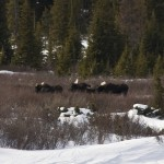 Three LARGE bull moose.