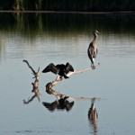 Double-crested Cormorant, Great Blue Heron