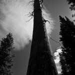 Twisted grain of a long-dead Ponderosa pine still stands.