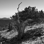 Bristle Cone Pine, black and white, Chief Mountain