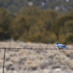 A Mountain Bluebird holding on to a fence in a strong wind.