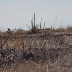 A meadow lark perches on a dried yucca stem to keep and eye on me.