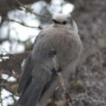 A Grey Jay, also known as a Camp Robber