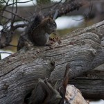 Grey Squirrel munching on a pine cone.