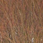 Alternating reds and yellows of a willow in winter.