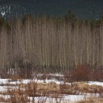 Aspen trees, willows, snow