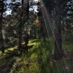 HDR, pines, trees