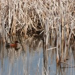 A Cinnamon Teal. I never realized what a variety of ducks visit our open space, until I started to pay attention.