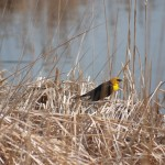 Yellow headed blackbird, usually make their appearance in mid-April.