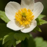 Wildflower, White Globeflower