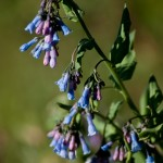Mountain Bluebell