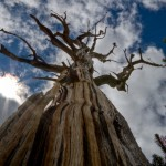 Bristlecone Pine reaching to the sky.
