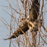 Swainson's Hawk, Broomfield Commons Open Space