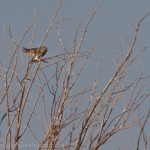 American Kestrel wanted some bit too.