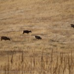 Mule Deer grazing at the Rocky Flats National Wildlife Refuge.