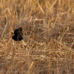 Red Wing Blackbird thinks it's too warm for December, must be spring!