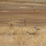 Two Coyotes in the Broomfield Commons open space.