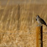 Northern Flicker perched on a post in the sun.
