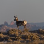 Pronghorn Antelope are plentiful here, this one didn't want to hang around long.