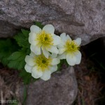 A white variation of the American Globeflower.