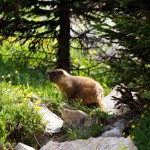 Our common friend, the Yellow-bellied Marmot, or Whistle Pig, named for its shrill whistling when it spots potential threats.