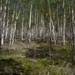 I was intrigued by the depth of this grove of Aspens, almost impossible to emulate with a photo, though I try.