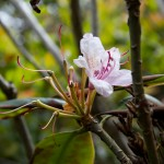 Last bloom of a Rhodedendron near Cape Perpetua.