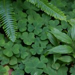 Being from a fairly dry Colorado, the amount of green in the forest was astounding. Shamrocks and Ferns.