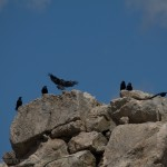 Ravens enjoying the sun