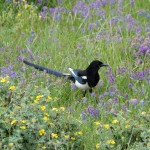Magpie in the flowers on Vail Pass