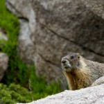Marmot checking me out.
