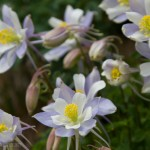Pale variety of Rocky Mountain Columbine