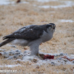 Peregrine Falcon feeding on one of the many rabbits in the park behind my house in Broomfield.