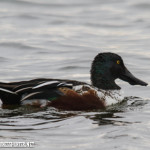 Northern Shoveler on Tom Frost reservior, Broomfield.